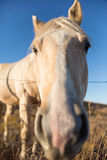 Horse face closeup. Portrait of a closeup Palomino horse leaning over a fence in front of deep blue sky background Stock Photo