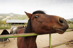 Horse Face. A horse, in the Methow Valley of eastern Washington, gets up close and personal to check out the visitor to his corral on a horse ranch Royalty Free Stock Photos
