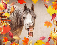 Horse face with Open mouthed looking in camera , in the foreground falling autumn leaves Royalty Free Stock Photo