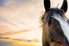 Horse face with sunset royalty free stock images
