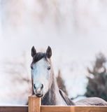 Horse face on wooden fence Royalty Free Stock Images