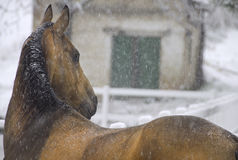 Horse in falling snow stock images