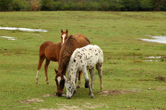 Horse family. Mare and 2 colts grazing in pasture stock image