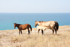 Horse family Royalty Free Stock Photography