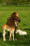 Horse family. Hanoverian mare and foal in a paddock Stock Image