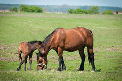 Horse Family Stock Photos