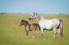 Horse Family Royalty Free Stock Images