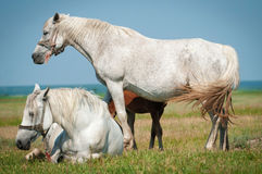 Horse Family Stock Image