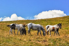 Horse family. Five wild horses pasturing on a mountain Stock Photography