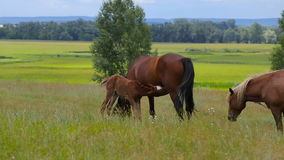 A horse family grazes on a summer green pasture stock video