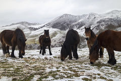 Horse family. An image of horses in a snowy mountain Stock Photo