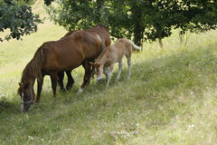 Horse family. In a meadow image Stock Images