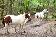 Horse family on mountain road Royalty Free Stock Photo