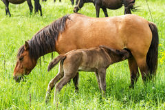 Horse family Royalty Free Stock Image