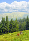 Horse family pasturing on meadow among mountains Royalty Free Stock Photography