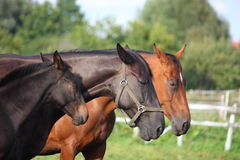 Horse family portrait - foal and its parents. In summer royalty free stock photos