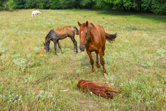 Horse family on summer pasture Royalty Free Stock Images
