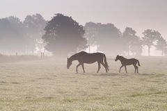 Horse family walk on misty pasture Royalty Free Stock Image