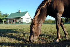 Horse on Farm. Brown Horse Grazing on a Farm Royalty Free Stock Photo