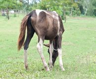Horse in farm. Small thai horse  in  farm Stock Photo