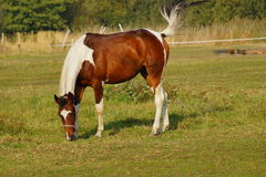 Horse on a farm in the autumn meadow Stock Photography