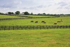 Horse Farm in the Countryside of Kentucky. Horses in the bluegrass on a farm in rural Kentucky royalty free stock photos