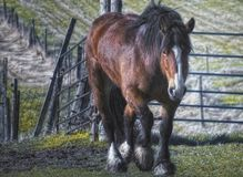 Horse in farm field. Brown horse walking in a farm pasture Stock Photography