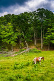 Horse in a farm field in  the rural Potomac Highlands of West Vi Royalty Free Stock Images