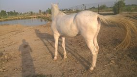 Horse in farm. When i went in farm house at barki , which is situated near Pakistan & India border then i picked it royalty free stock images