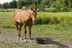 Horse on Farm in Iowa Royalty Free Stock Photo