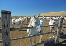 Horse Farm, Lipizzaner Stock Image