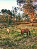 HORSE FARM MALAYSIA stock photography