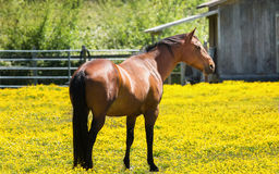 Horse at a Farm in Northern Californa. Color Image royalty free stock photos
