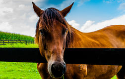 Horse on a farm in Southern York County, Pennsylvania. Stock Image