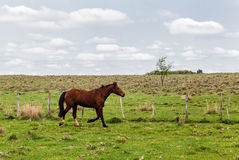 Horse in a Farm. A typical country bucolic scene, a  horse walking next to a fence Royalty Free Stock Image