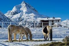 Horse Farm in Winter. A beautiful winter scenery from Austrian Alps (Galtür). Three horses on a farm royalty free stock photo