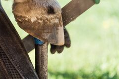 Free Horse Farrier At Work: Trims And Shapes A Horse S Hooves Using Rasper And Knife. The Close-up Of Horse Hoof Royalty Free Stock Image - 182499206