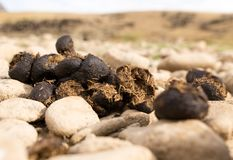 Horse feces on the ground. In the park in nature Royalty Free Stock Images