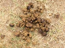 Horse feces on the ground. In the park in nature Stock Photo