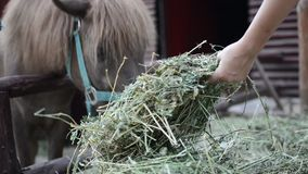 Horse feed by child, close up. stock video