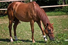 The horse in the feed the grass and heats in the sun. In summer Royalty Free Stock Photos