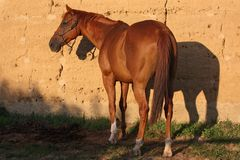 The horse in the feed the grass and heats in the sun. In sunset Stock Images