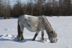 Horse feed produced from under the snow. Stock Images