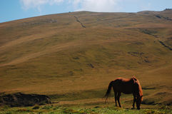 Horse feeding. A horse is feeding in a highland in Bucegi Mountains royalty free stock images
