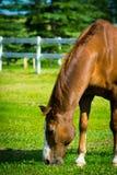 Horse Feeding Stock Image