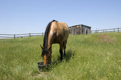 Horse feeding in field. Horse feeding from bucket in field on ranch with blue sky background Royalty Free Stock Photo