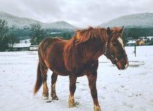 Horse feeding in fresh snow. Sunnny winter day. In farmland royalty free stock photo
