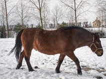 Horse feeding in fresh snow. Sunnny winter day. In farmland stock photos