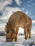 Horse feeding in fresh snow. Sunnny winter day. In farmland stock images