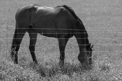 Horse Feeding On Grass Behind Wire Fence Black And White Royalty Free Stock Photo